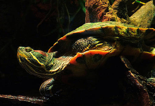 Slider Turtle by Rosalie Scanlon