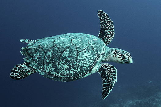 Green Turtle by Roupen  Baker