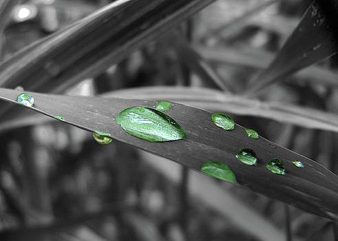 Green Water Droplets On A BW Blade Of Grass by Don White