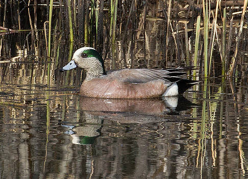Dee Carpenter - Green Winged Teal