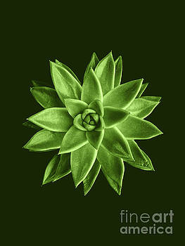 Greenery succulent Echeveria agavoides flower by PLdesign
