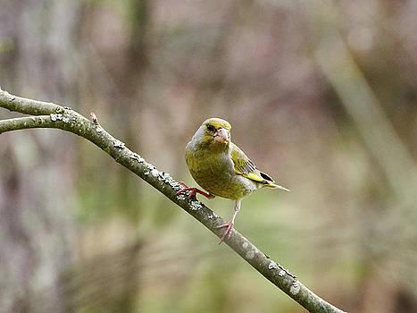 Greenfinch by Jouko Lehto