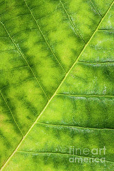 Greenleaf by Evelina Kremsdorf