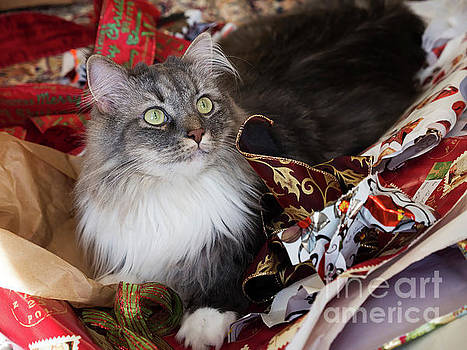Grey and white Siberian Cat sitting in discarded Christmas wrapping paper by Louise Heusinkveld