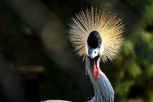 Grey crowned crane by Francisco R Vernet