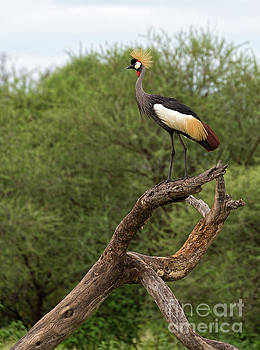 Grey Crowned Crane by Yair Karelic