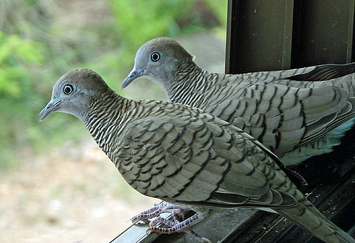 Grey Doves by Russell Pittock