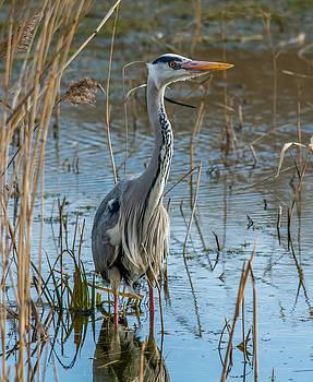 Grey Heron Hunting by David Attenborough