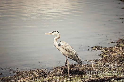 Grey Heron by Petrus Bester