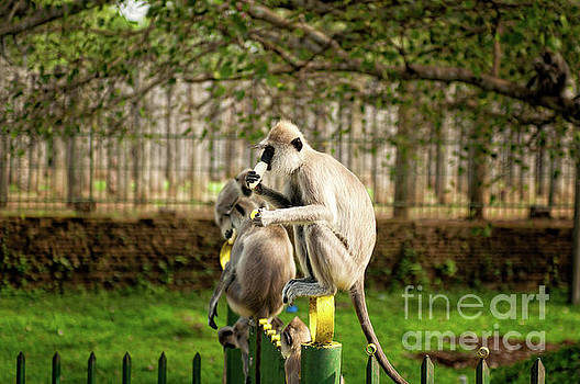 Grey Langur Monkey at Anuradhapura  by Venura Herath