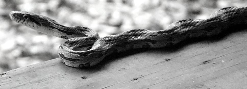 Grey Rat Snake by Julie Pappas