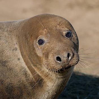 Grey Seal by Karen Van Der Zijden