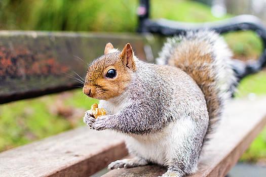 Jacek Wojnarowski - Grey Squirrel in Autumn Park F