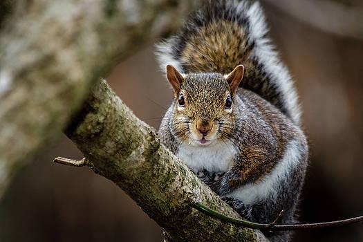 Grey Squirrel by Jim Johnson