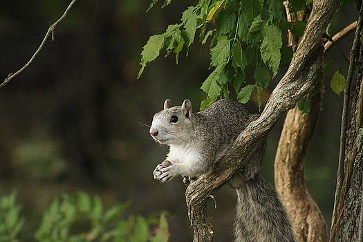Grey Squirrel by Valia Bradshaw