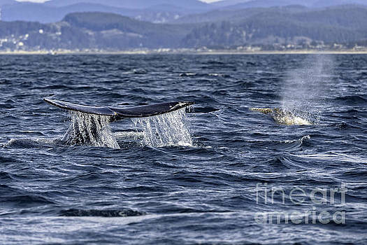 Grey Whale Migration by Moore Northwest Images