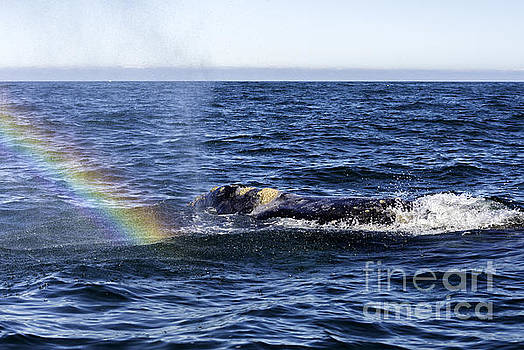 Grey Whale Rainbow by Moore Northwest Images