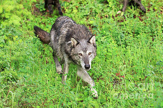 Grey wolf Canis lupus by Louise Heusinkveld