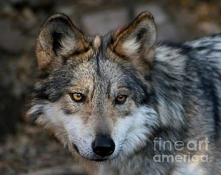 Grey Wolf by Paula Guttilla