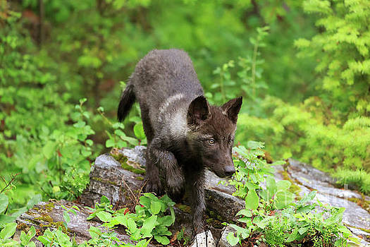 Grey wolf pup Canis lupus by Louise Heusinkveld