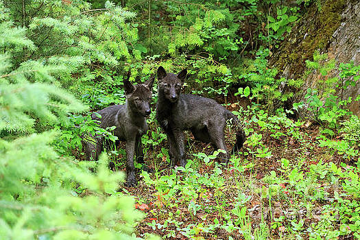 Grey wolf pups Canis lupus by Louise Heusinkveld