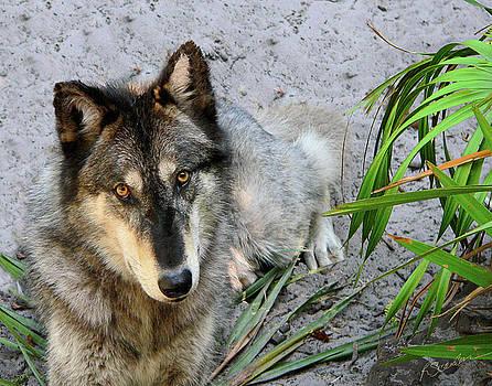 Grey Wolf by Rosalie Scanlon