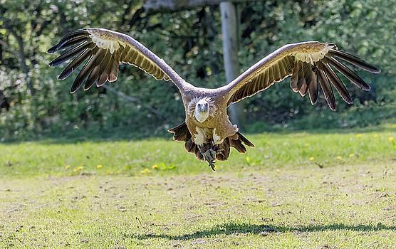 Darren Wilkes - Griffon vulture - Gyps fulvus