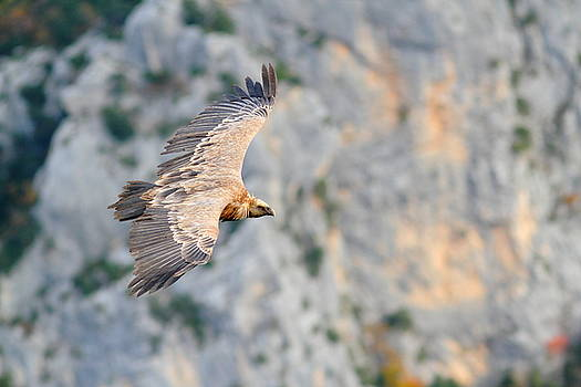 Griffon Vulture by Richard Patmore