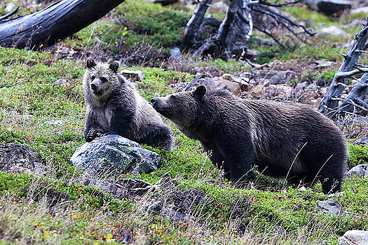 Griz Mom and Baby Silver 11 _a by Bill Keeting