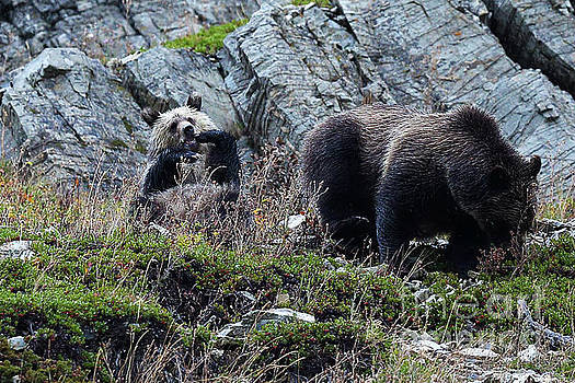 Griz Mom and Baby Silver 11 by Bill Keeting