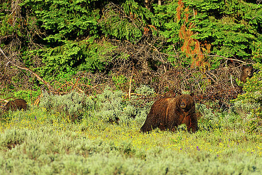 Grizzly 399 With Cubs by Greg Norrell