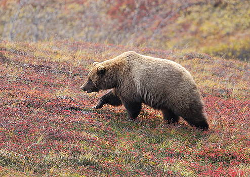 Grizzly At Denali National Park by Steve Wolfe
