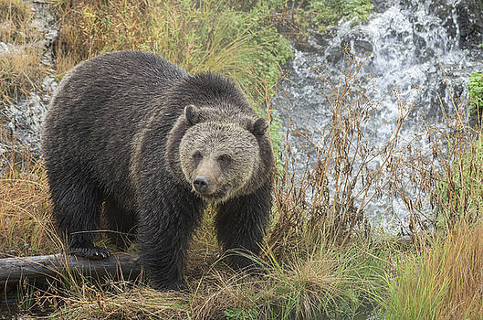Scott Wheeler - Grizzly at the Cascade
