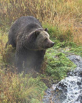 Scott Wheeler - Grizzly at the hot spring