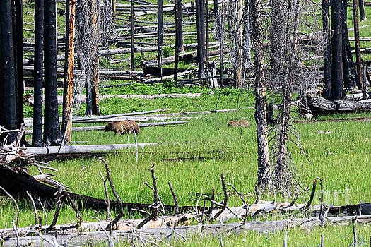 Grizzly Bear and cub cross an area of regenerating forest fire by Louise Heusinkveld