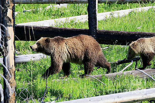 Grizzly Bear and Cub by Louise Heusinkveld