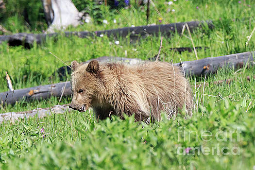 Grizzly Bear cub in Yellowstone National Park by Louise Heusinkveld