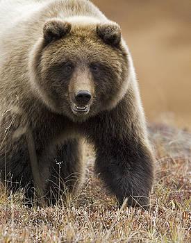Tim Grams - Grizzly Bear- Eye to Eye
