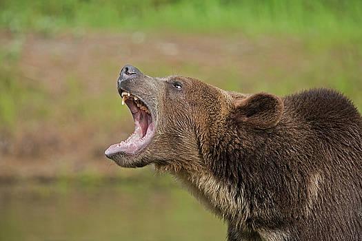 Grizzly Bear Growl by Jack Nevitt