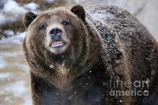 Grizzly Bear in snow by Steve Boice
