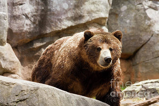 Grizzly Bear by Jill Lang