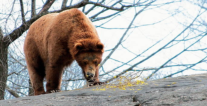 Grizzly Bear by Linda C Johnson