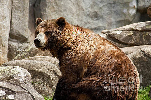 Grizzly Bear Sitting Down by Jill Lang