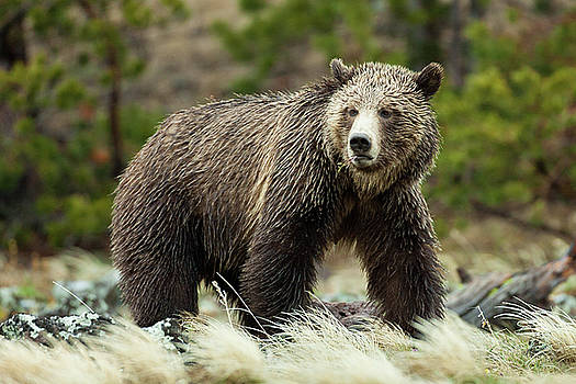 Grizzly Bear by Wesley Aston