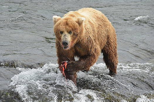 Patricia Twardzik - Grizzly Bear with Salmon in a River