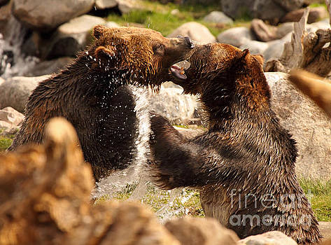 Grizzly Bears In A Battle Of Tooth And Claw by Max Allen