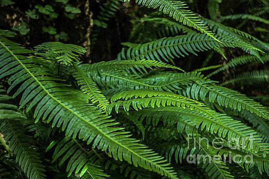 Grizzly Creek Redwoods Ferns by Blake Webster