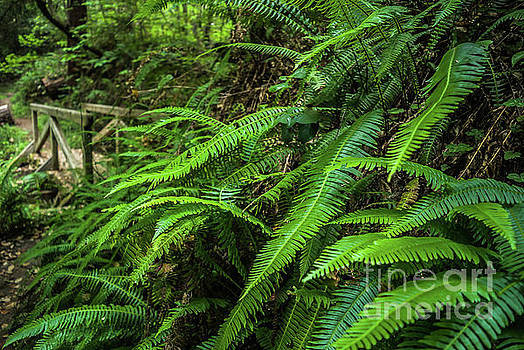 Grizzly Creek Redwoods Ferns on Path by Blake Webster