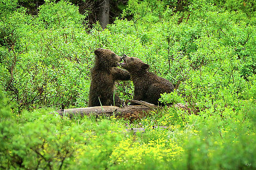 Grizzly Cubs At Play by Greg Norrell
