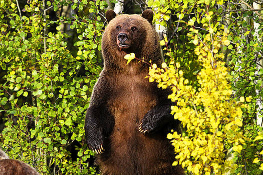 Grizzly Sow and 1 Cub Color by Bill Keeting